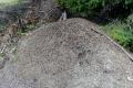 olbrzymie mrowisko na Huzarach