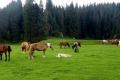 wypas koni na polanie Ponor