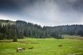 dzikie mustangi na polanie Ponor