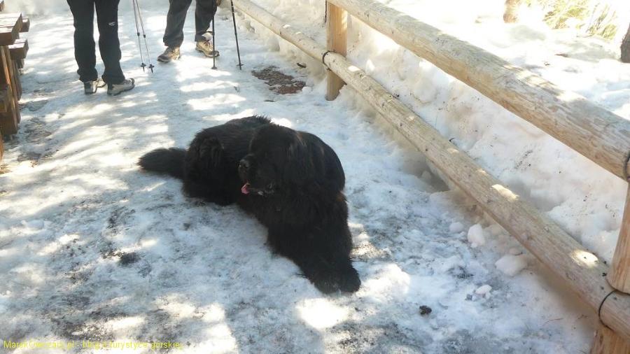 pies-ratownik z HZS