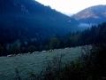 wypas owiec na polanie Podrozsutce