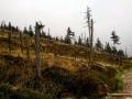 umierający las