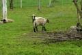 słodkie owieczki na szlaku