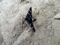 czarny motylek, foto by Ela.K