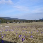 W poszukiwaniu tatrzańskich krokusów na Ścieżce nad Reglami