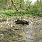Niedźwiedzie giną w Bieszczadach