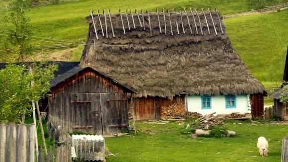 kurna chata w Libuchorze i pasące się świnie przez zagrodą