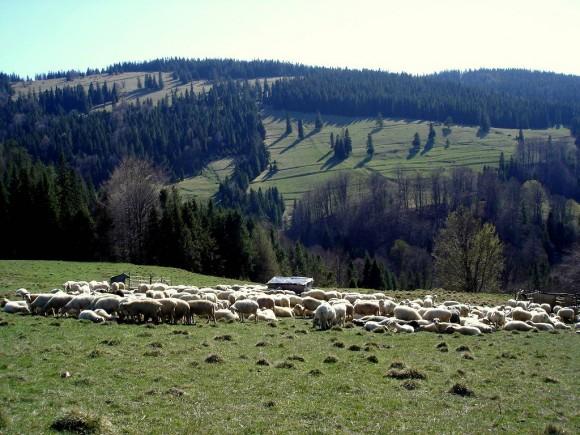 wypas owiec na zboczach Wierchchliczki