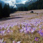 Polowanie na krokusy od Polany Kalatówki, poprzez Sarnią Skałę, aż po Dolinę Kościeliską, czyli Ścieżka nad Reglami też jest piękna